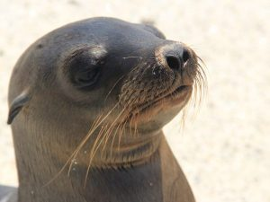 sealion on the beach in the galapagos