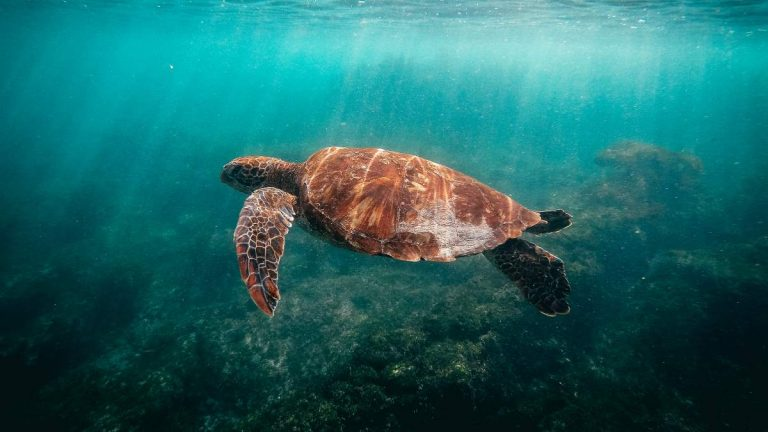 turtle swimming in green ocean