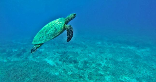 turtle in blue sea