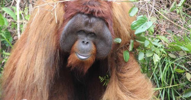 orangutan in the bush