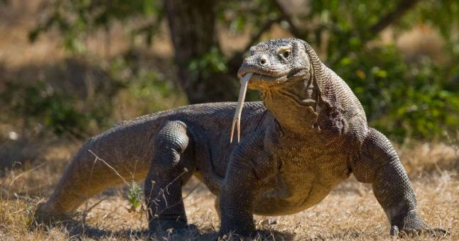 komodo dragon with tongue out