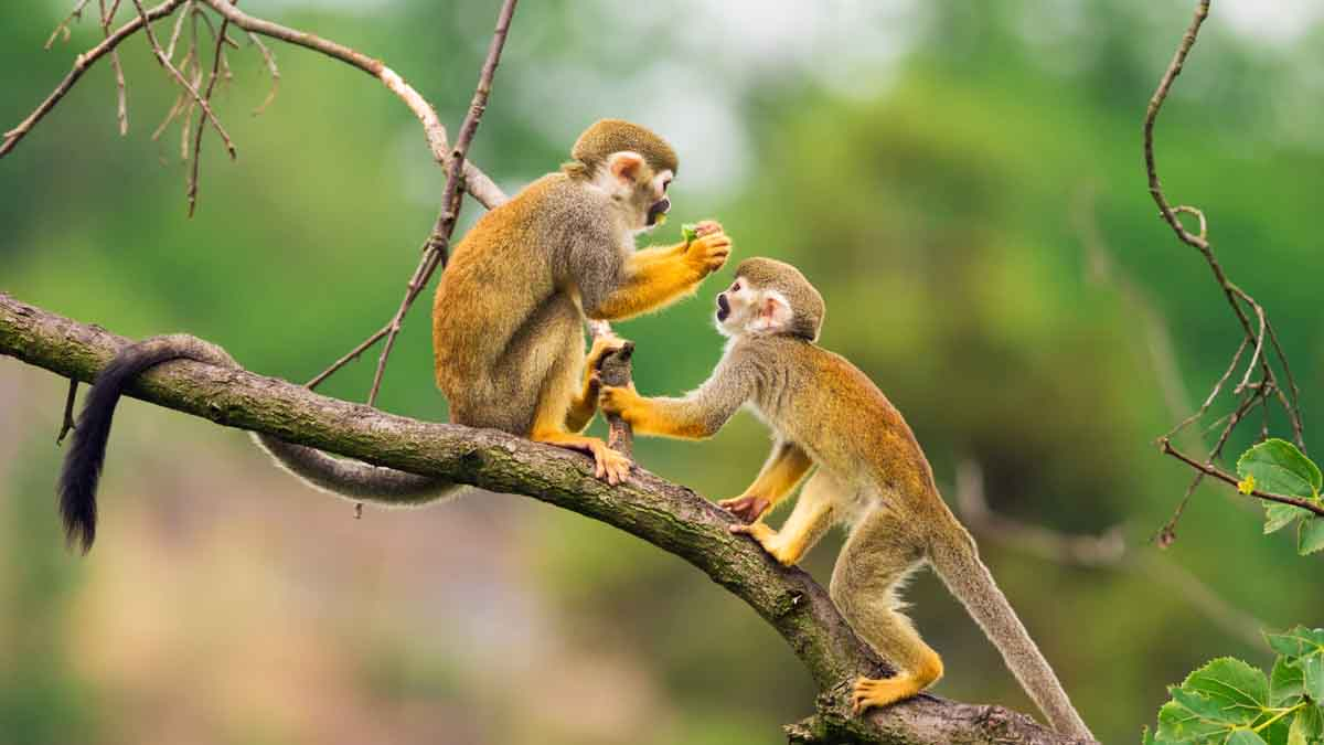 squirrel monkeys playing in the amazon