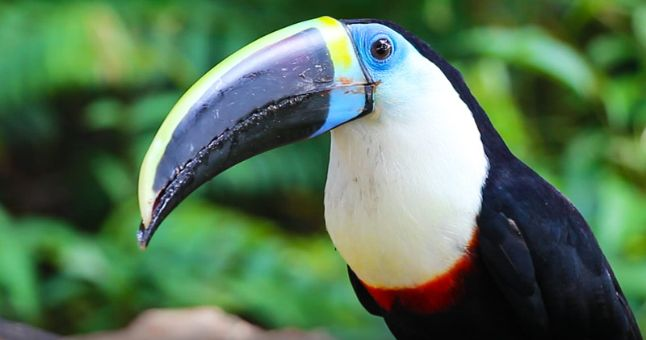 toucan in forest