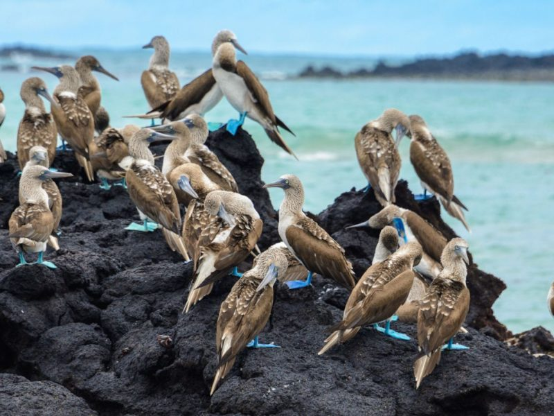 blue footed birds on a black rock