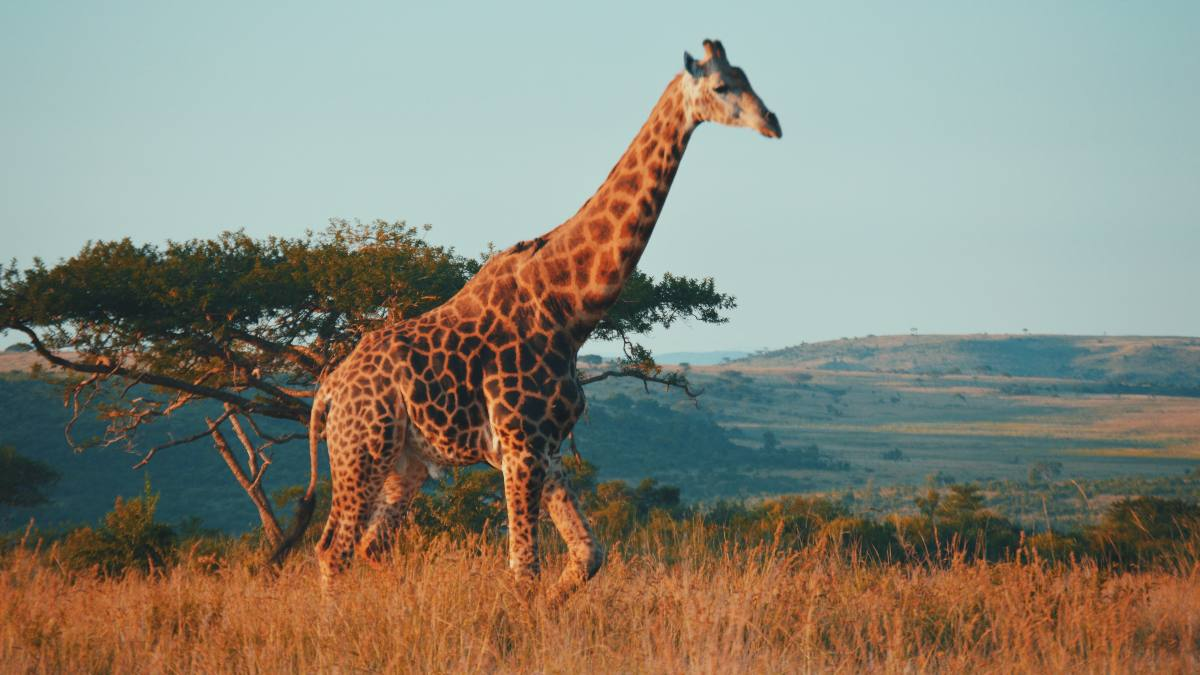 giraffe on safari
