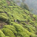 Tea fields in Nuwara Eliya