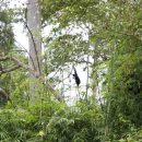 A gibbon in the tree
