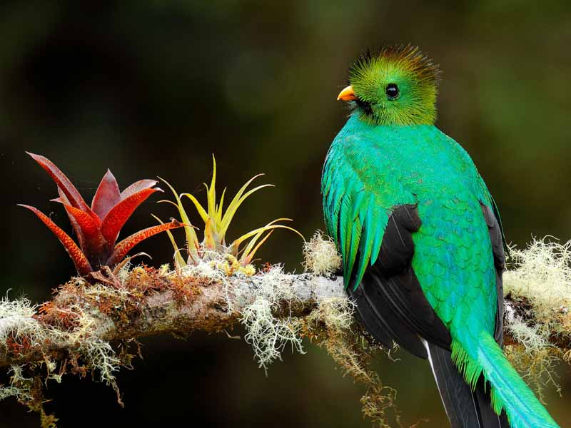 quetzal in tree