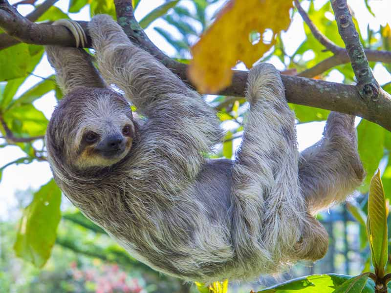 sloth hanging in a tree in costa rica