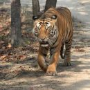tiger in bandhavgarh