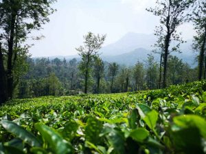 tea leaves in wayanad