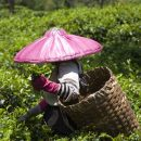 local woman picking tea