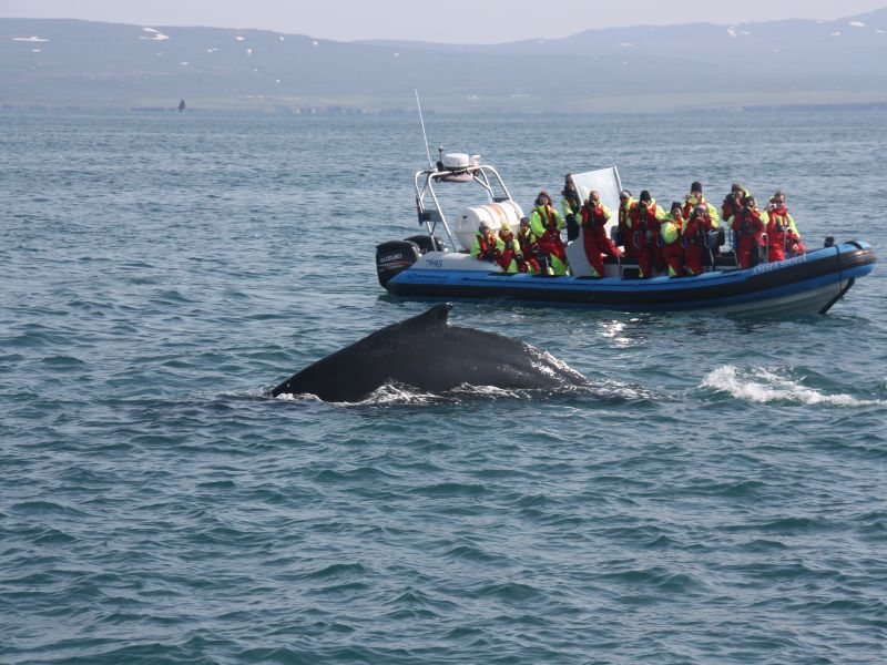 A small dingy with people looking at a whale in the sea