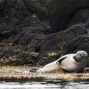A seal lying down in the water