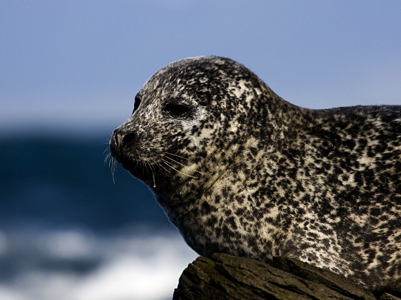 A small seal sitting on a rock by the sea