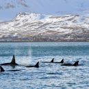 a pod of orcas swimming with snowy mountains behind them