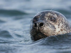A seal sticking it's head out in the sea