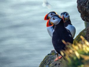 three puffins sitting on a rock with water in the background