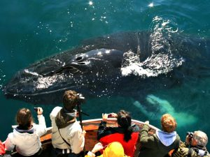 A large whale swimming beside a boat with people